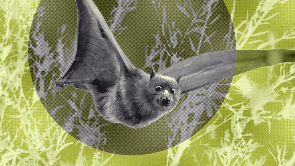 A fruit bat mid-flight