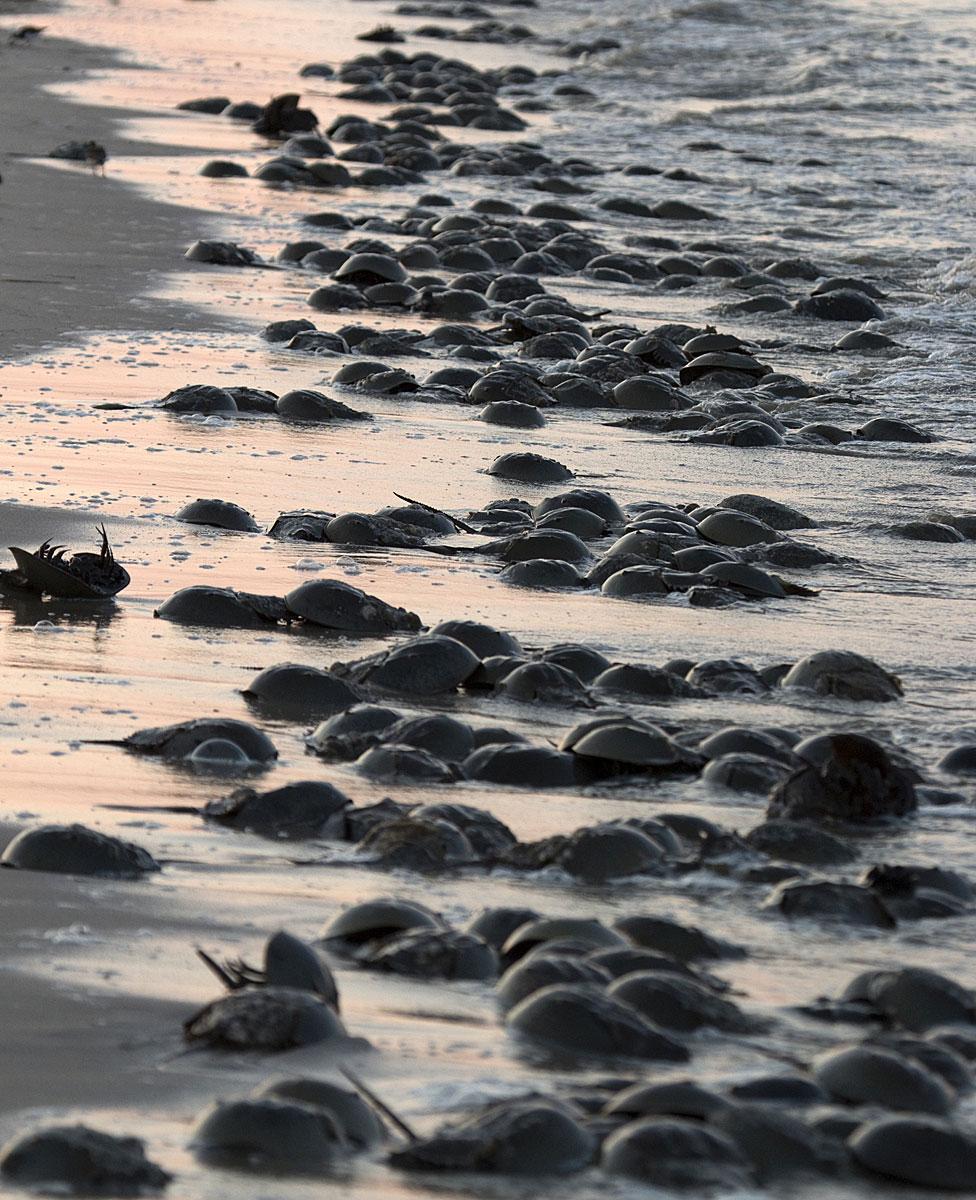 Cangrejos herradura llegando a la bahía de Delaware.