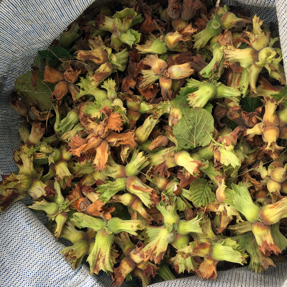 a bag of picked hazelnuts