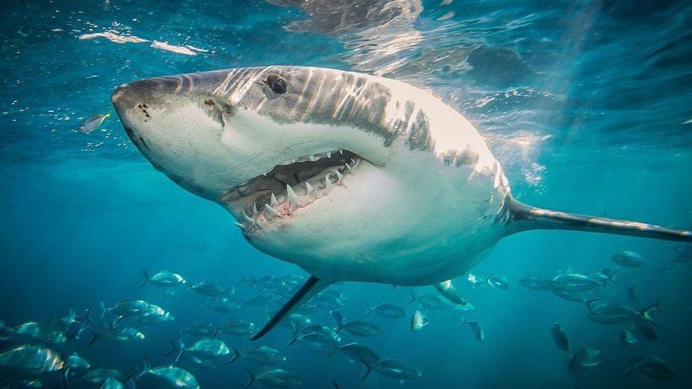 Tiburón gran blanco
