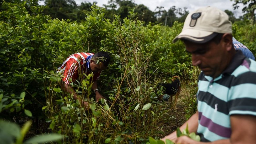 Cultivadores de coca