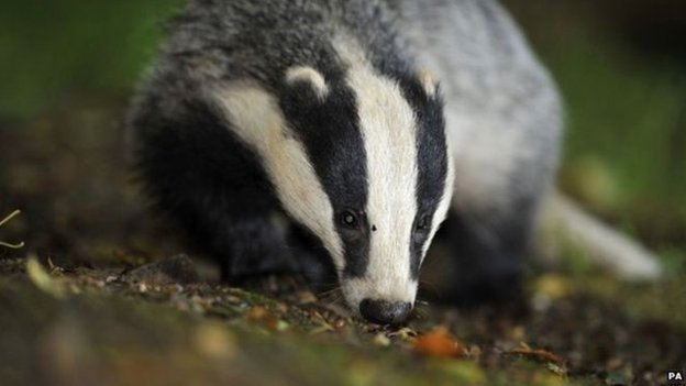 Badger cull: Vets accuse ministers of 'barefaced lies'