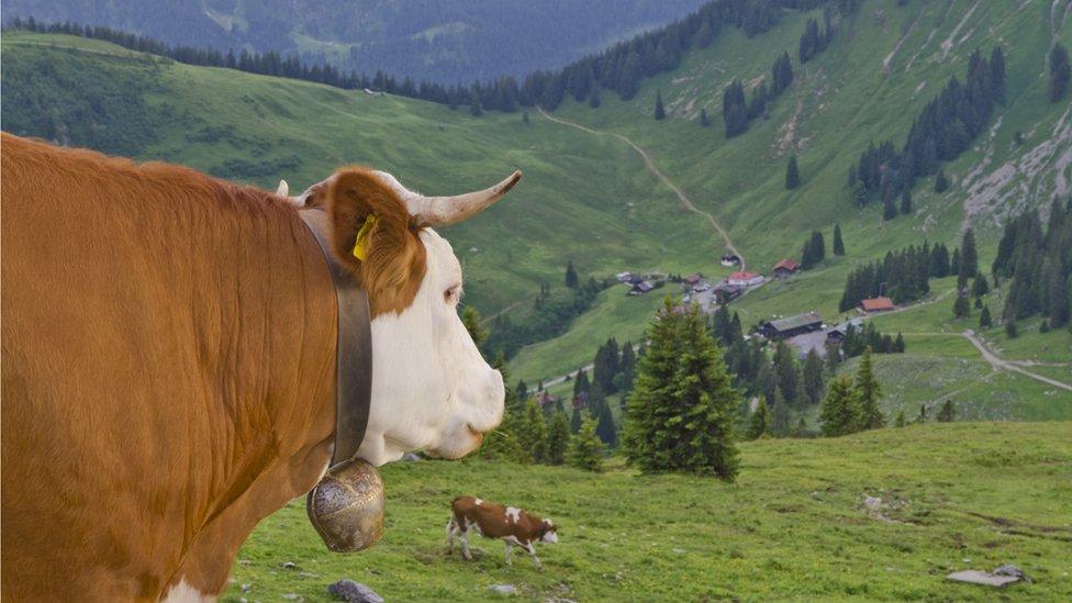 Krava u Nemačkoj