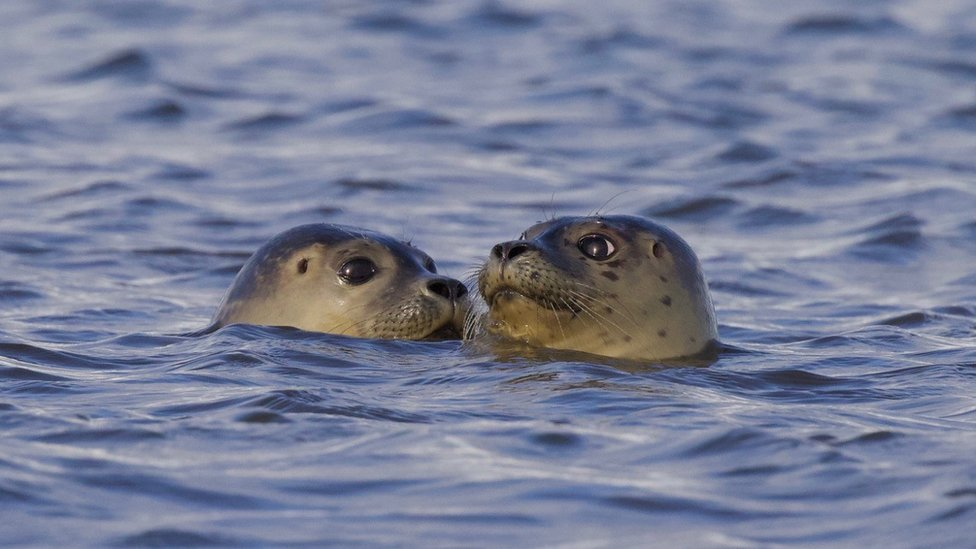 Two of the seals in the water