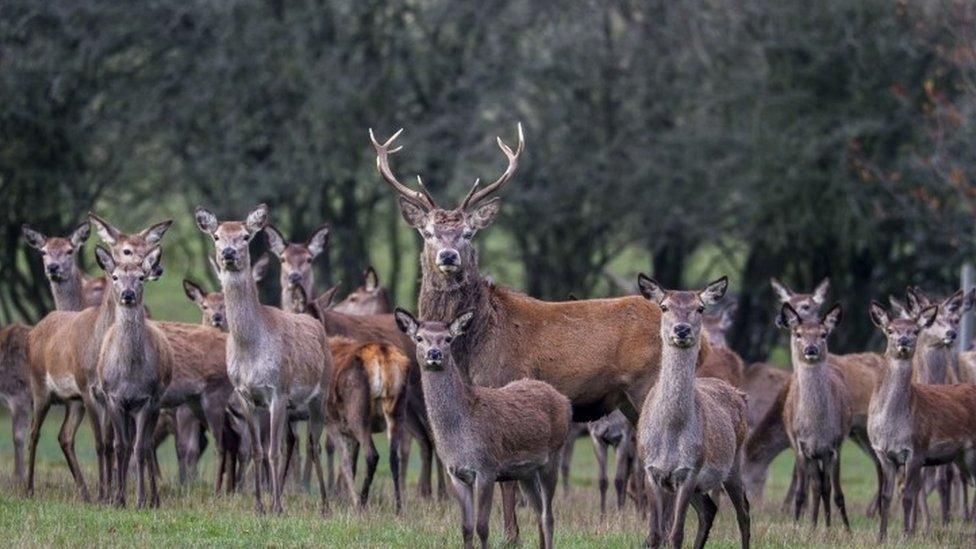Deer (generic)