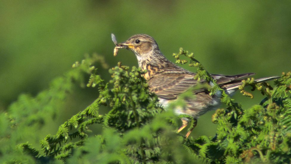 A skylark on a tree branch with a bug in its beak