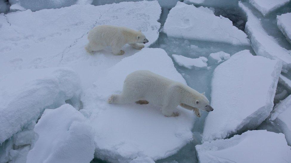 Osos polares desplazandos en hielo fragmentado