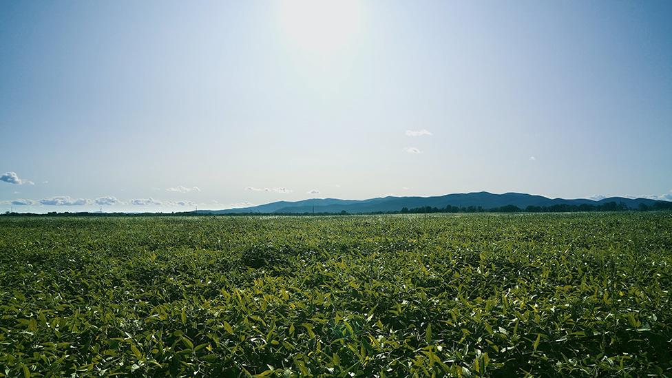 Osnovnaя kulьtura, kotoruю vыraщivaюt agrarii iz KNR, - soя (na foto soevoe pole v Birobidžanskom raйone EAO)
