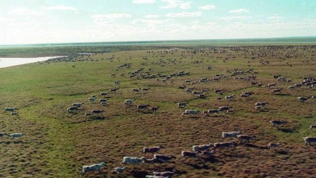 The Taimyr wild reindeer herd is the largest in the world