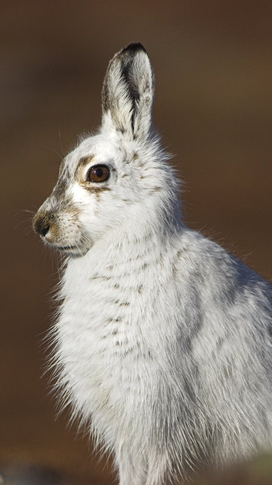 A mountain hare with white fur