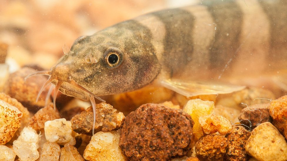 Undated handout photo issued by WWF, of a Schistura kampucheensis, a loach fish, which is one of the 115 new species that were discovered in the Greater Mekong region in 2016.