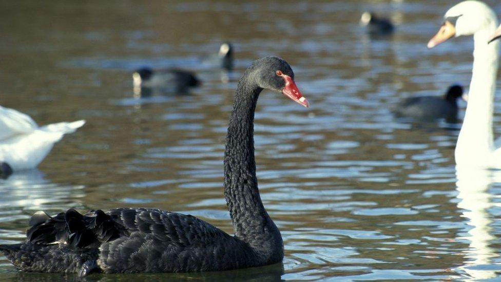 Cisne negro rodeado de blancos.