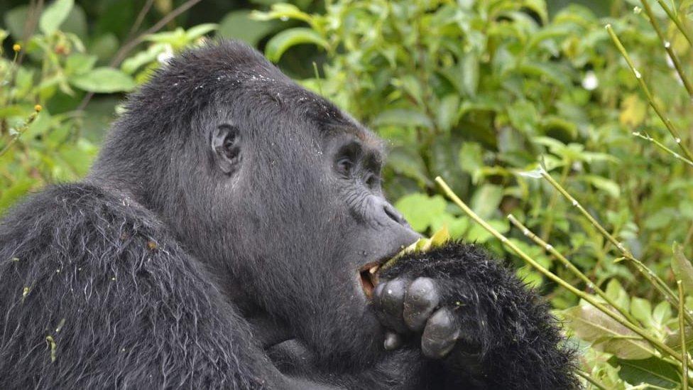 Rafiki eating something