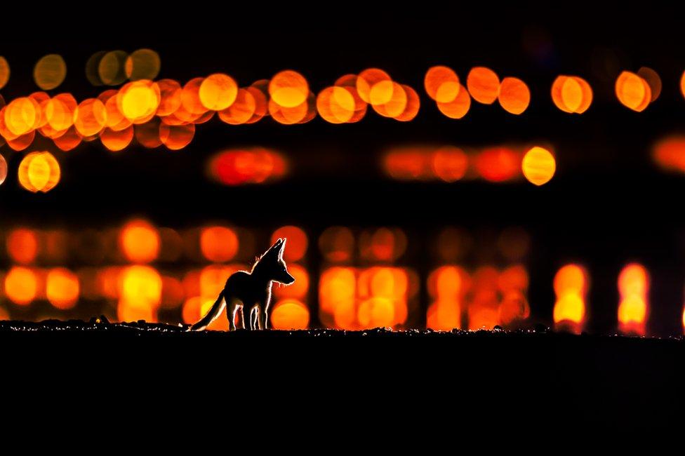 صورة لشبل الثعلب الأحمر العربي في الليل مع أضواء المدينة خلفه