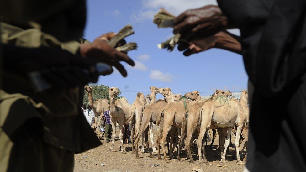 Camels in Somalia
