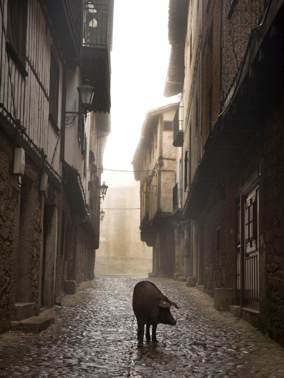 A pig an a passage