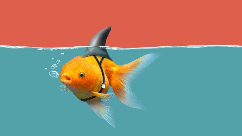 Pez pequeño con aleta de tiburón amarrada