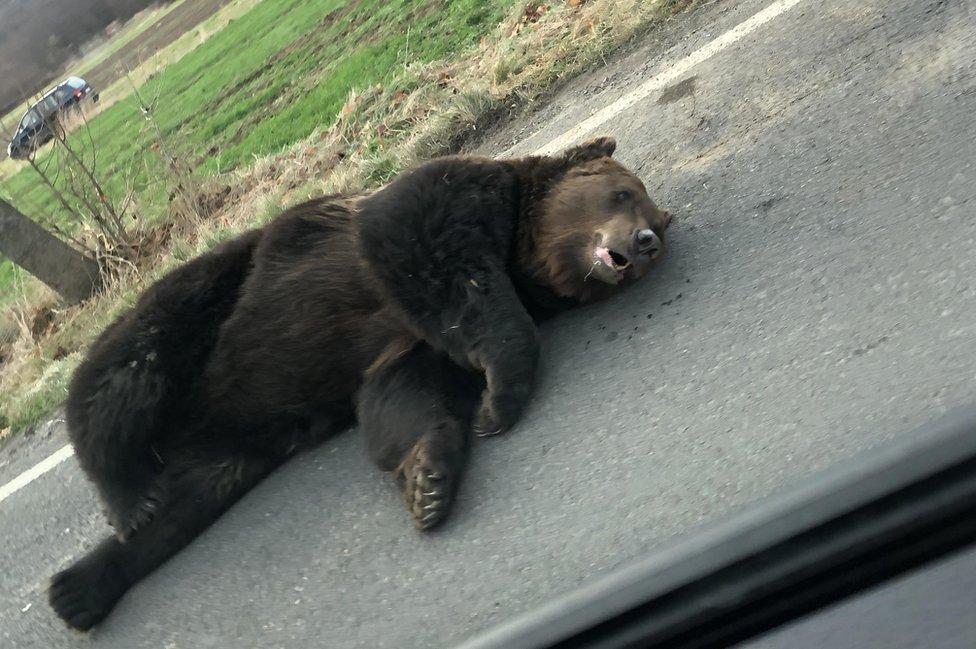 Dying bear