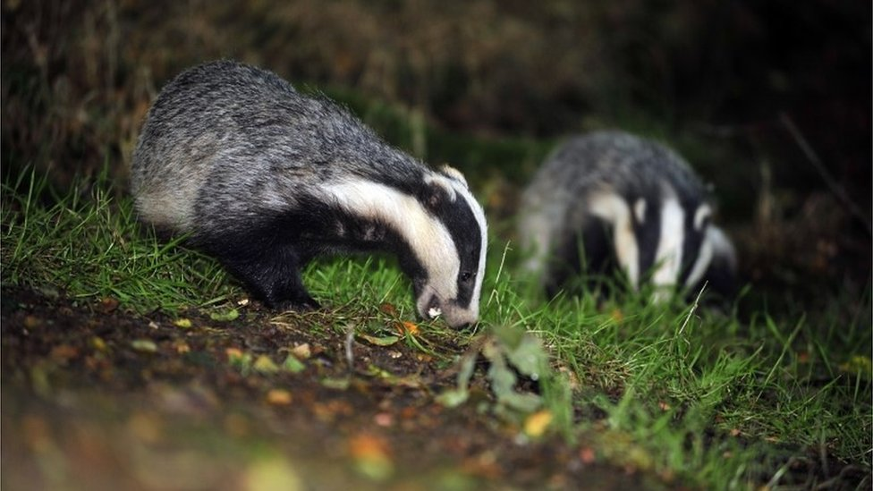 Badger cull: 'Crucial data omitted' say RSPCA and vets