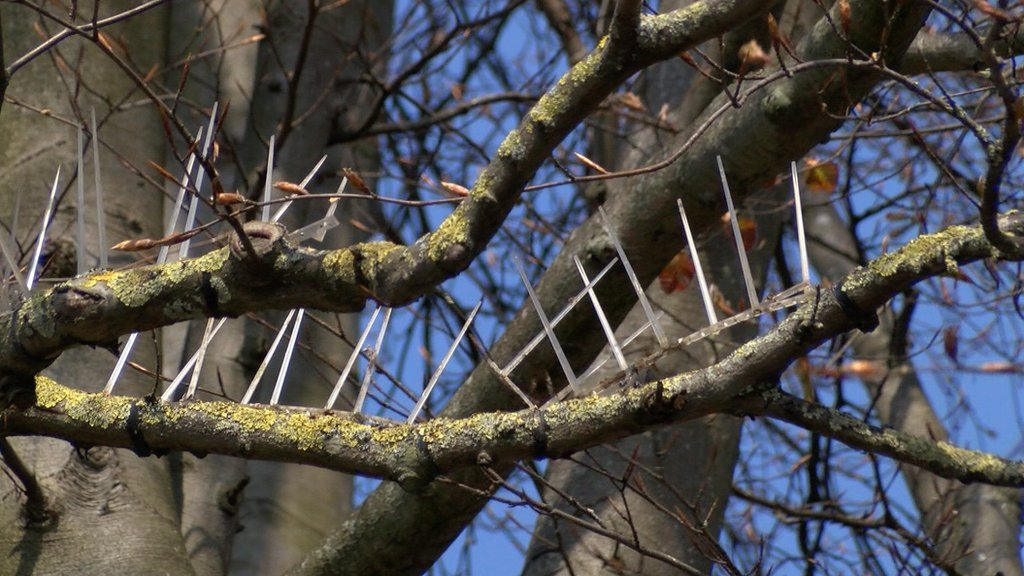 Spikes on trees in Oxford to 'stop bird poo'