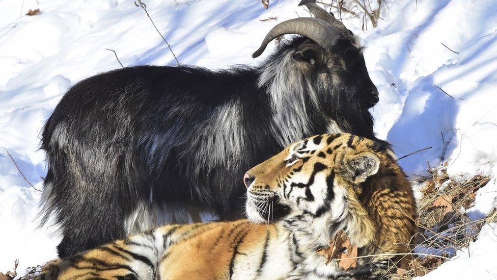 شیر اور بکرا