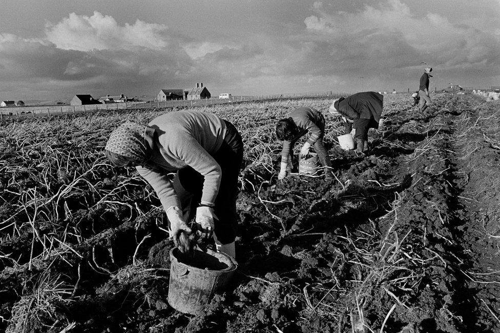 Potato picking, John O'Groats
