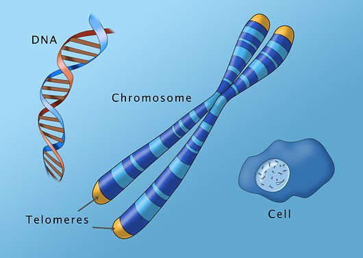 Telomeres protect our genetic code