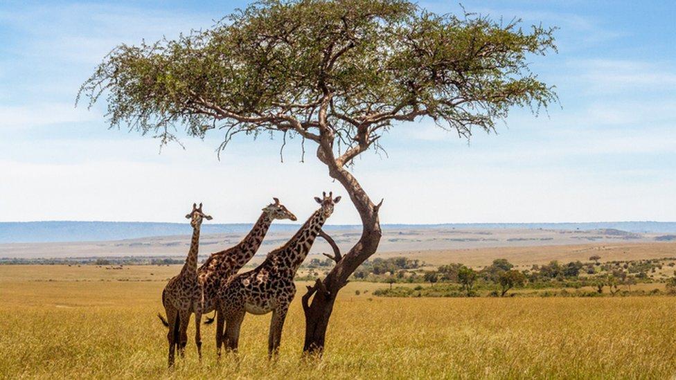 Jirafas bajo un árbol en África.