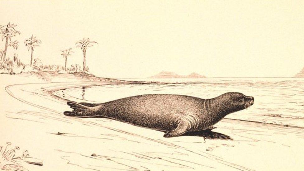 Ilustración de una foca monje
