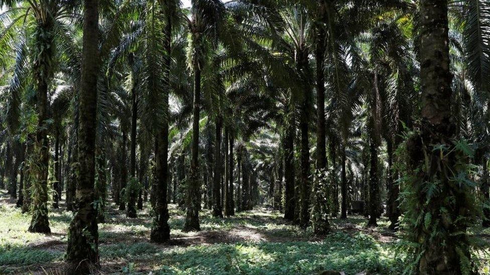 plantaciones de palma africana