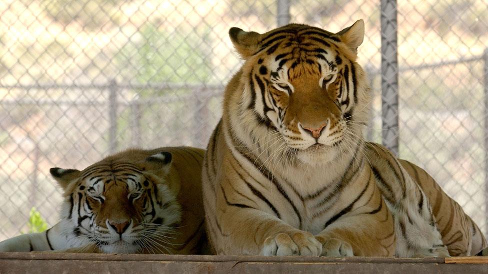 Michael Jackson's tigers at the Shambala Preserve