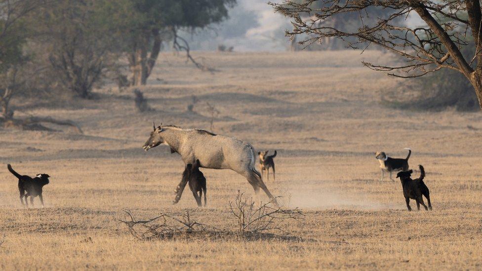 Perros salvajes atacan presa en India.