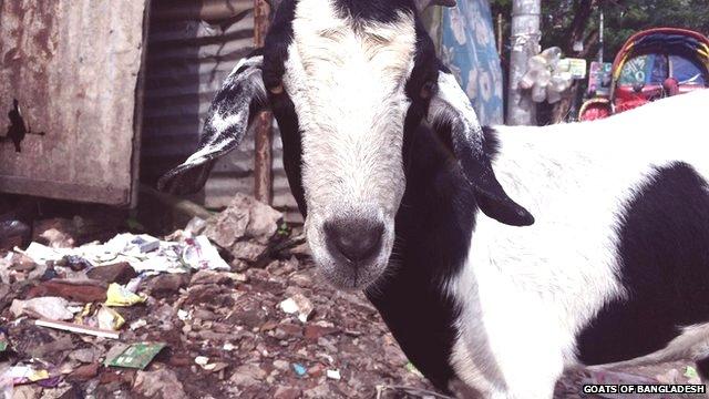 Goat in Bangladesh street
