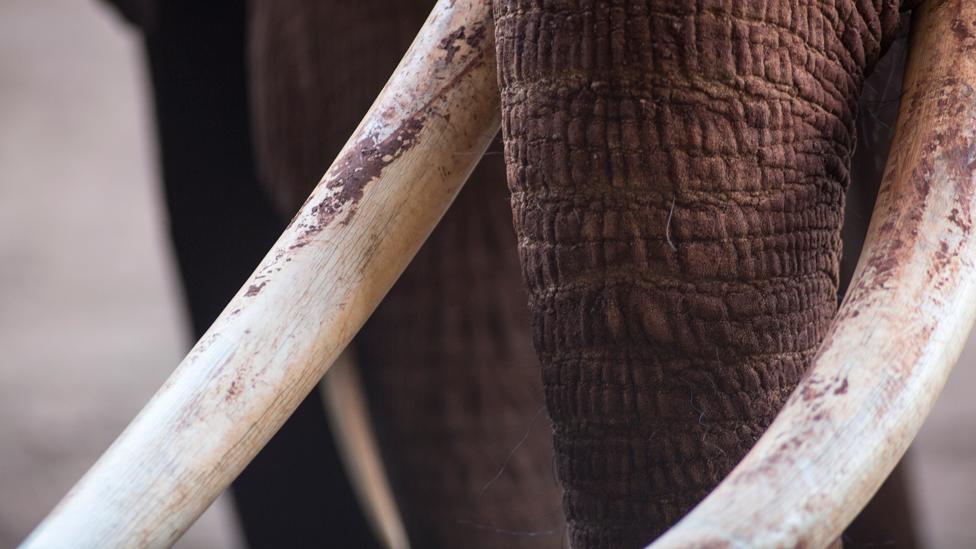 Colmillos de marfil de un elefante