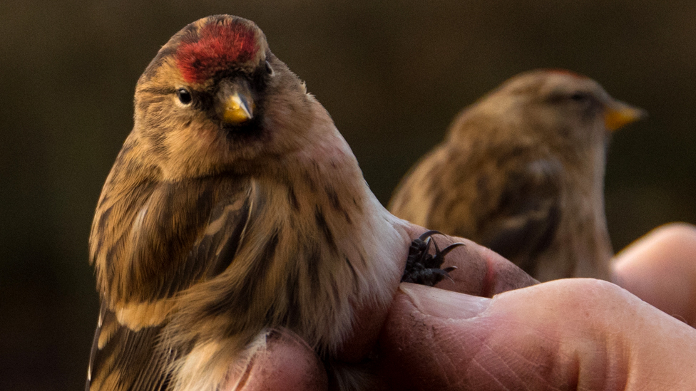 Two lesser redpolls gently held after leg tagging