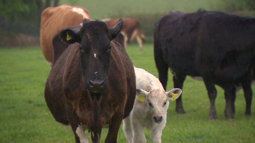 Cows in field with calf