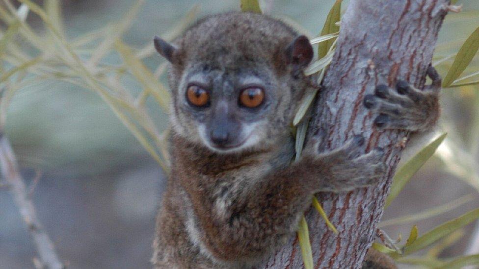 Northern sportive lemur (c) Edward E. Louis
