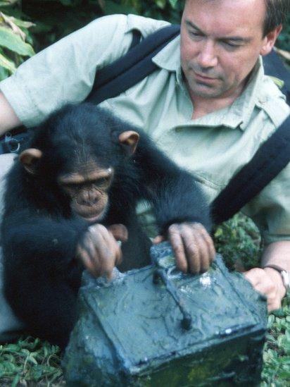 Chimpances.