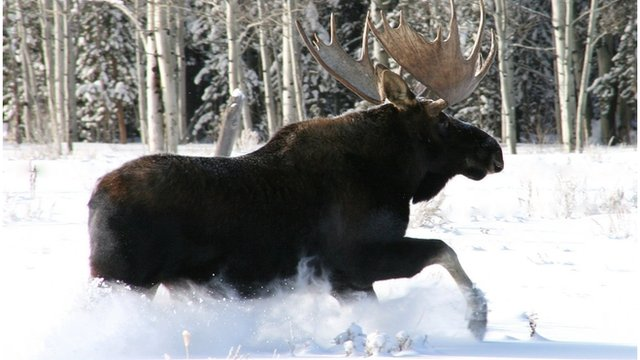 A Moose in the winter