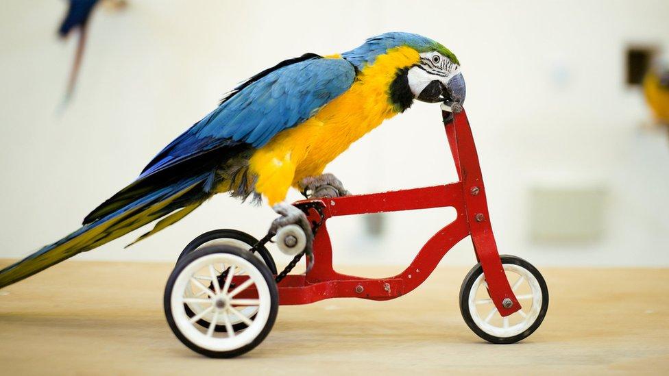 طائر يركب دراجة