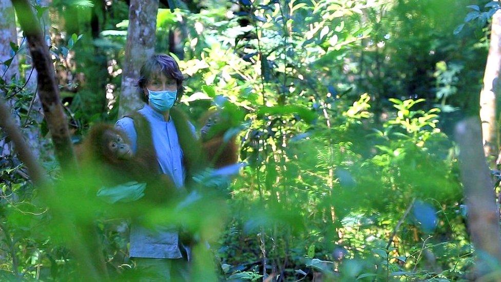 Voluntaria trabajando con orangutanes rescatados.