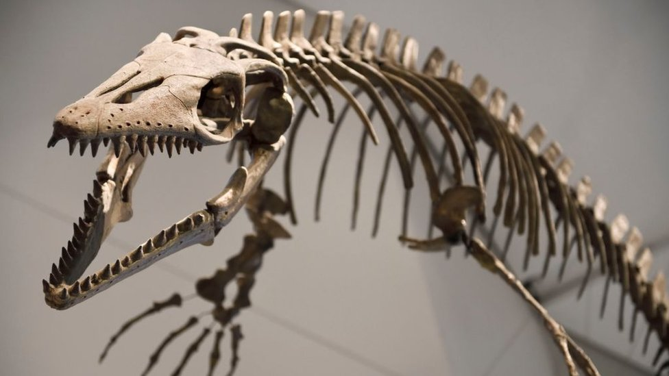 Platecarpus coryphaeus an 83 million year old mosasaur fossil