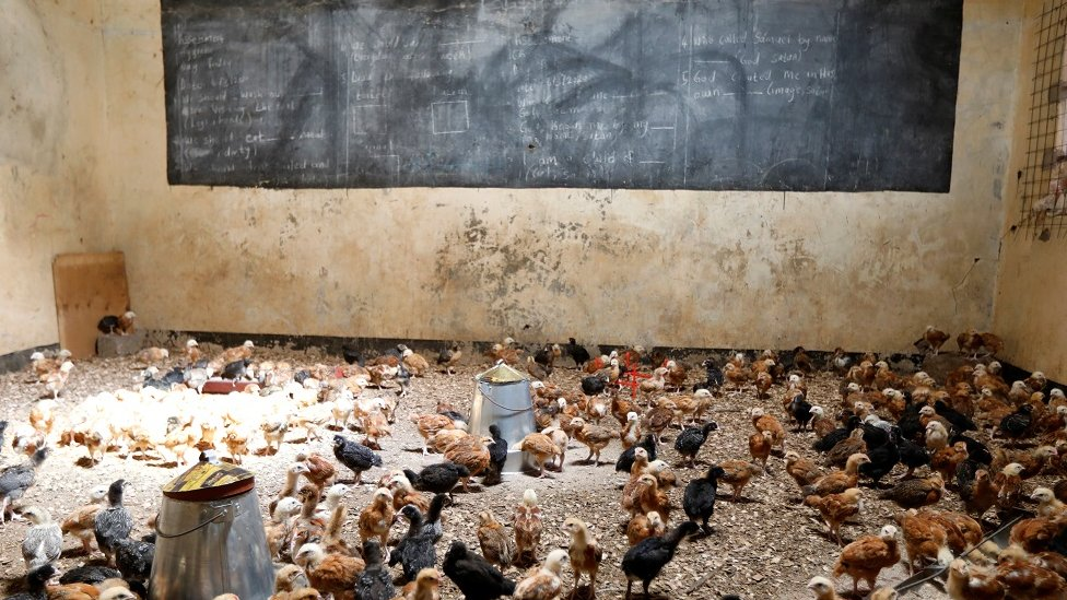 Chicks are seen in a classroom converted into a poultry house