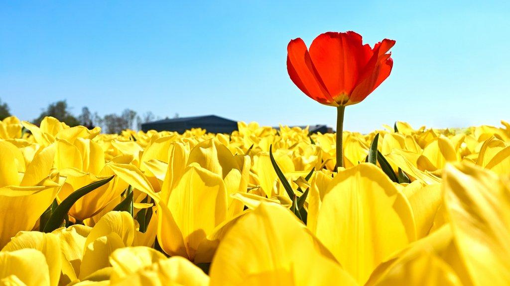 Un tulipán rojo más alto que muchos amarillos