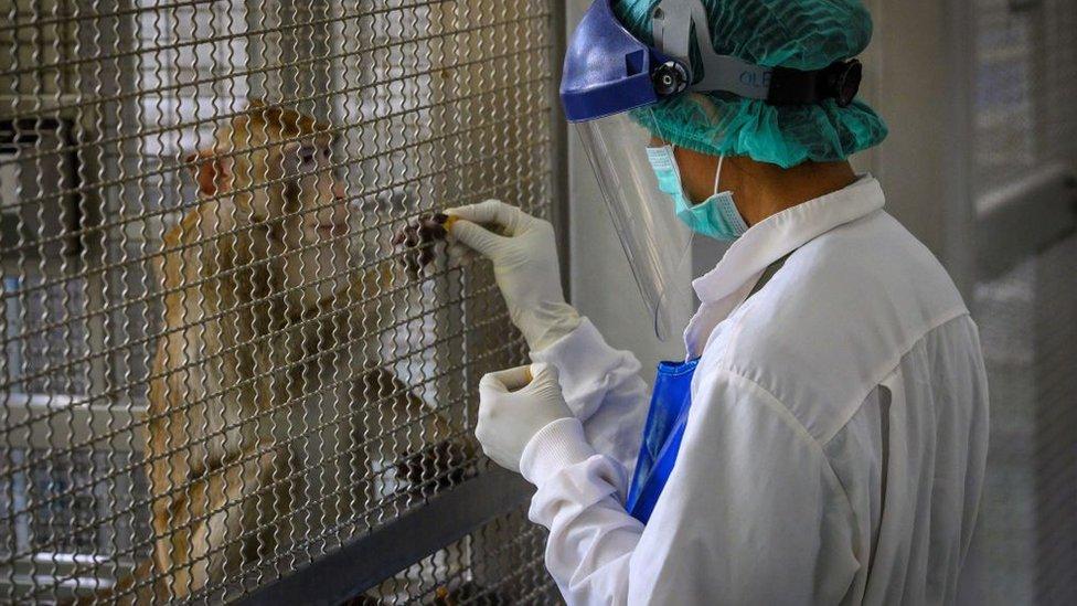 Un macaco Rhesus en una jaula