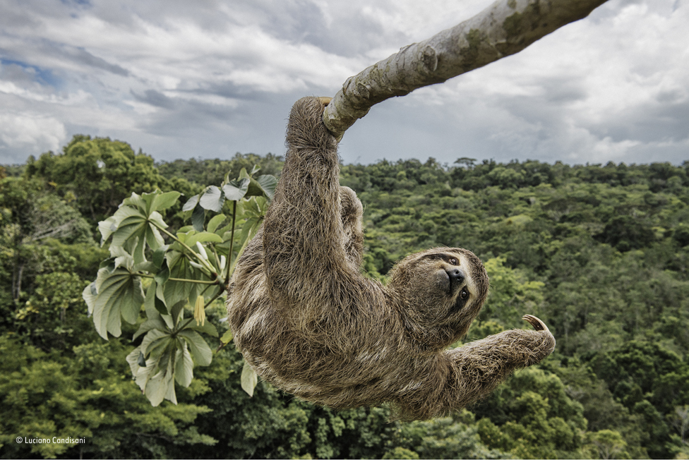 A sloth in a cecropia tree in the protected Atlantic rainforest of southern Bahia, Brazil.
