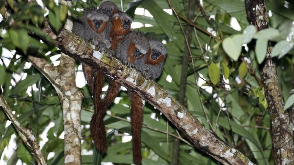 Zogue Zogue Rabo de Fogo. Researchers have discovered 381 new animals and plants species in the Amazonas announced the World Wildlife Fund on 30 August, 2017. The report by the WWF and Brazil's Mamiraua Institute, listed included previously unknown plants, fish, amphibians, reptiles, a bird and 20 mammals. The WWF warned that the new discoveries were in areas threatened by human