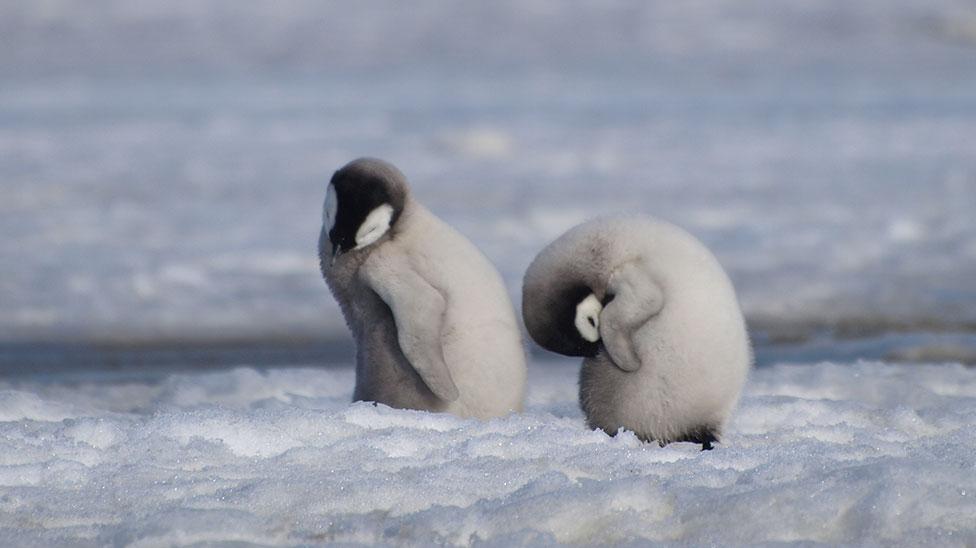 Mladunci carskog pingvina