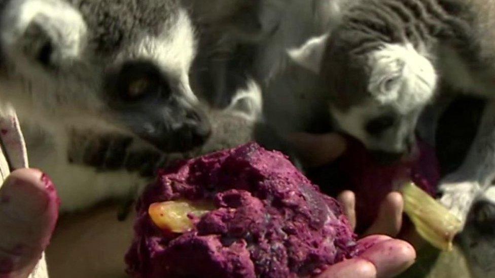 Beetroot ice lollies for lemurs in Cumbria