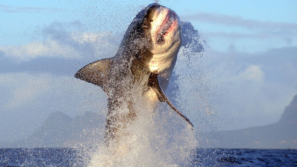 A shark leaping out of the water